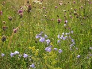 Harebells and thistles