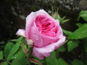 Comte de Chambord rose