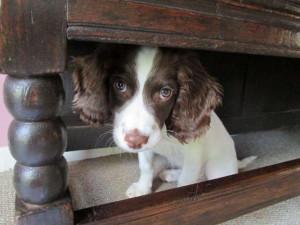 Hattie hiding under the settle