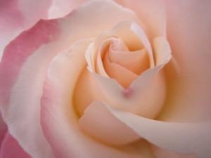 Nostalgia rose